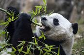 Panda gigante Bao Bao se despide de Washington y se traslada a China