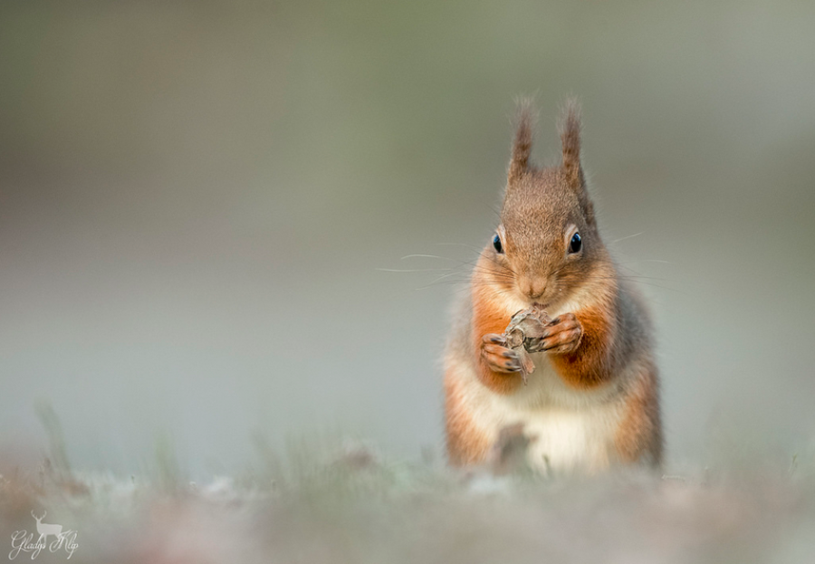 """Red Squirrel"" by Gladys Klip"