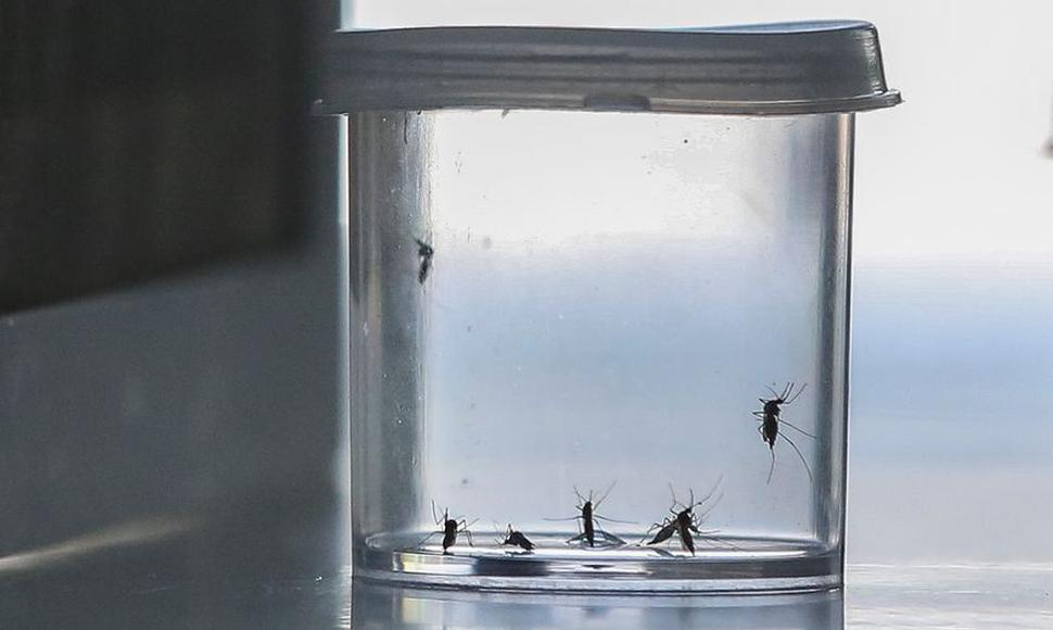 Mosquito Aedes Aegypty.
