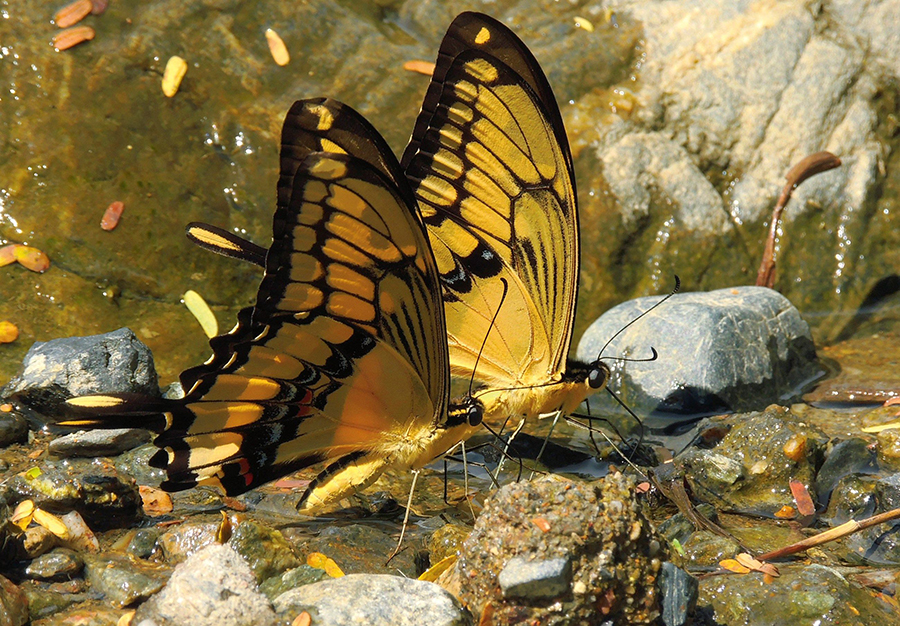 Colombia posee 3,300 especies de mariposas